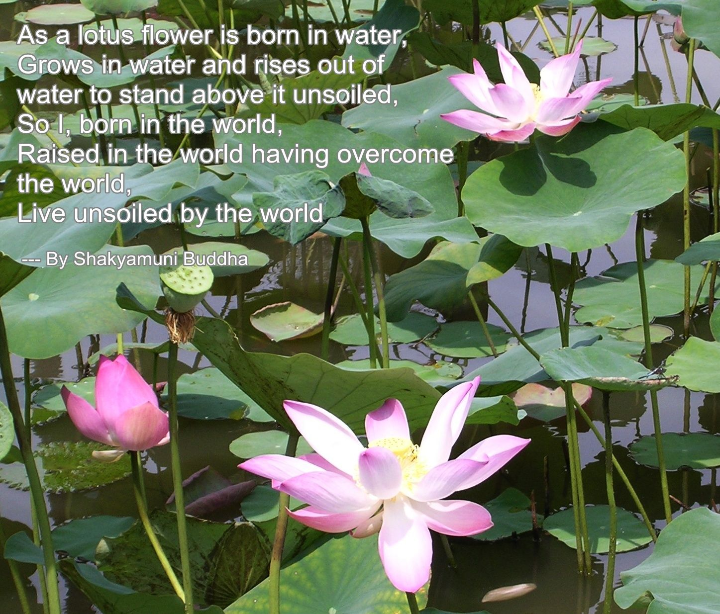 Lotus Flower Buddha Quote Album On Quotesvil Quotes Pinterest