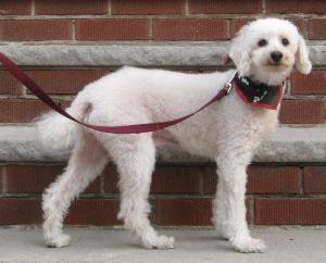 Adopt Frosty On Petfinder Adoption Poodle Dog Dog List