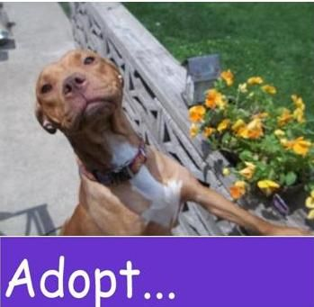 Chicagoland Bully Breed Rescue Bully Breeds Dog Adoption Breeds