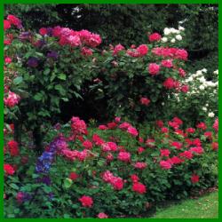 rosen schneiden ein guter schnitt h lt die rose gesund rosenpflege pinterest. Black Bedroom Furniture Sets. Home Design Ideas