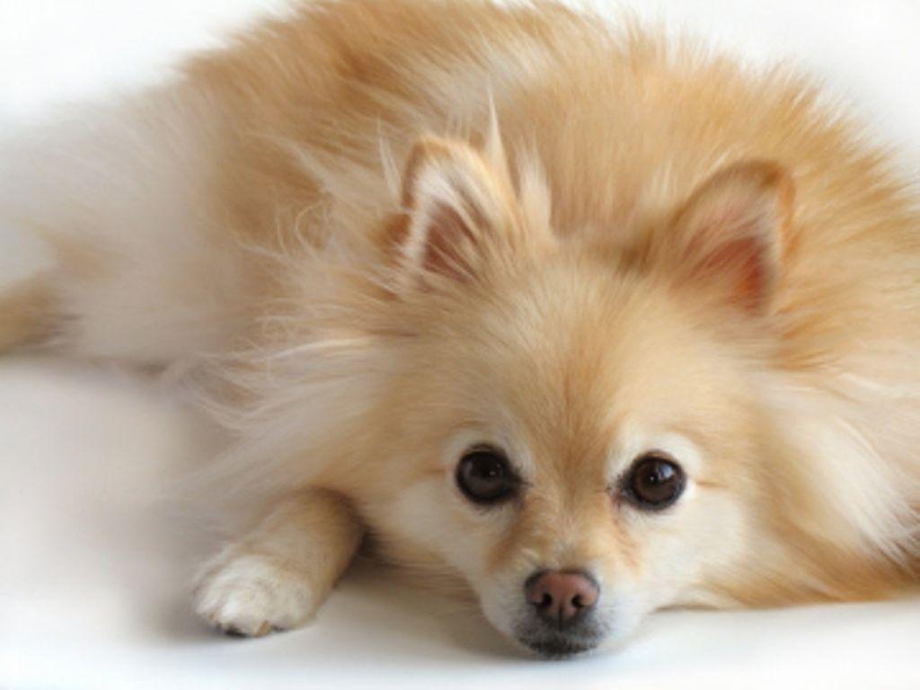 Pom Http Puppyexpressions Tumblr Com Pomeranian Dog Dog Breeds Cute Pomeranian