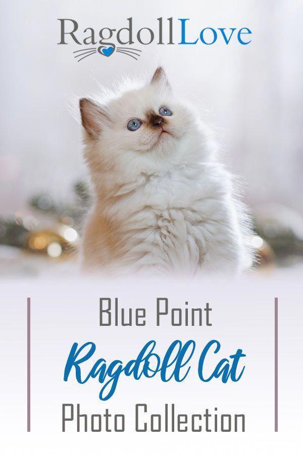 Cats Afraid Of Cucumbers Post 9388398413 Blue Point Ragdoll Ragdoll Cat Ragdoll Kitten