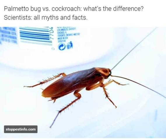 Palmetto Bug Vs Cockroach What S The Difference Scientists All