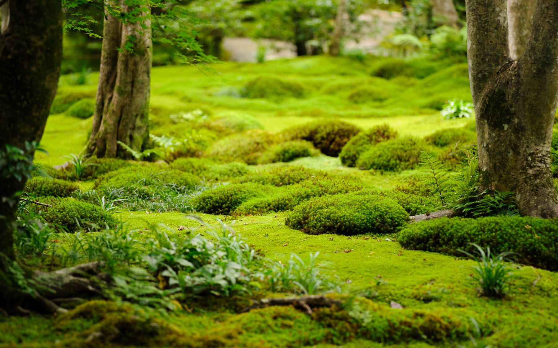 moss garden japan | Moss garden, Growing moss, Ground cover plants