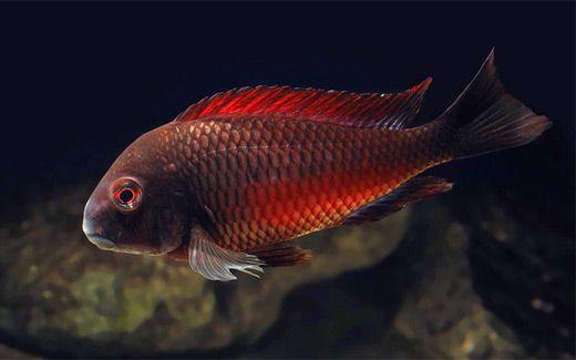 Tropheus Moliro Firecracker Cichlids Tropical Fish Fish