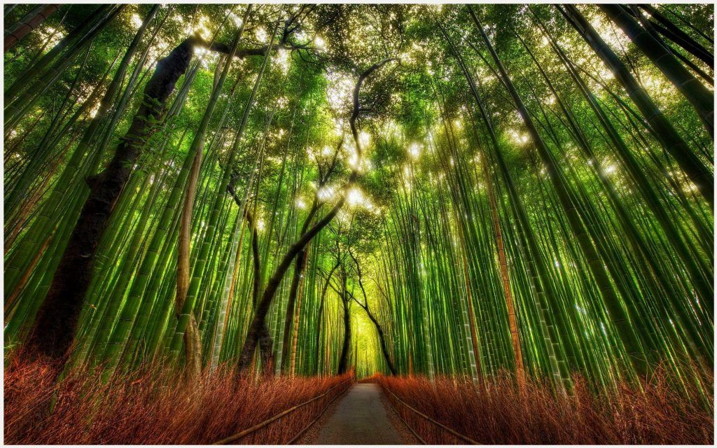 Bamboo Forest Kyoto Japan Hd Wallpaper Bamboo Forest Kyoto Japan