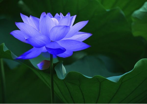 What Does The Divine Lotus Flower Mean To You Photos The Buddha