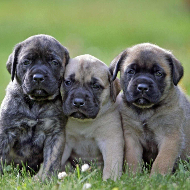 Mastiff Dogs English Grey Mastiff Dogs Mastiff Dogs Chihuahua Puppies Baby Chihuahua Long Hair Chihuahua Pets Anima In 2020 Mastiff Dogs Mastiff Breeds Mastiff Puppies