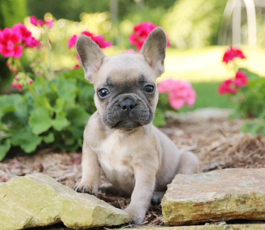 Pretty Frenchbulldog Cute Baby Animals Puppies