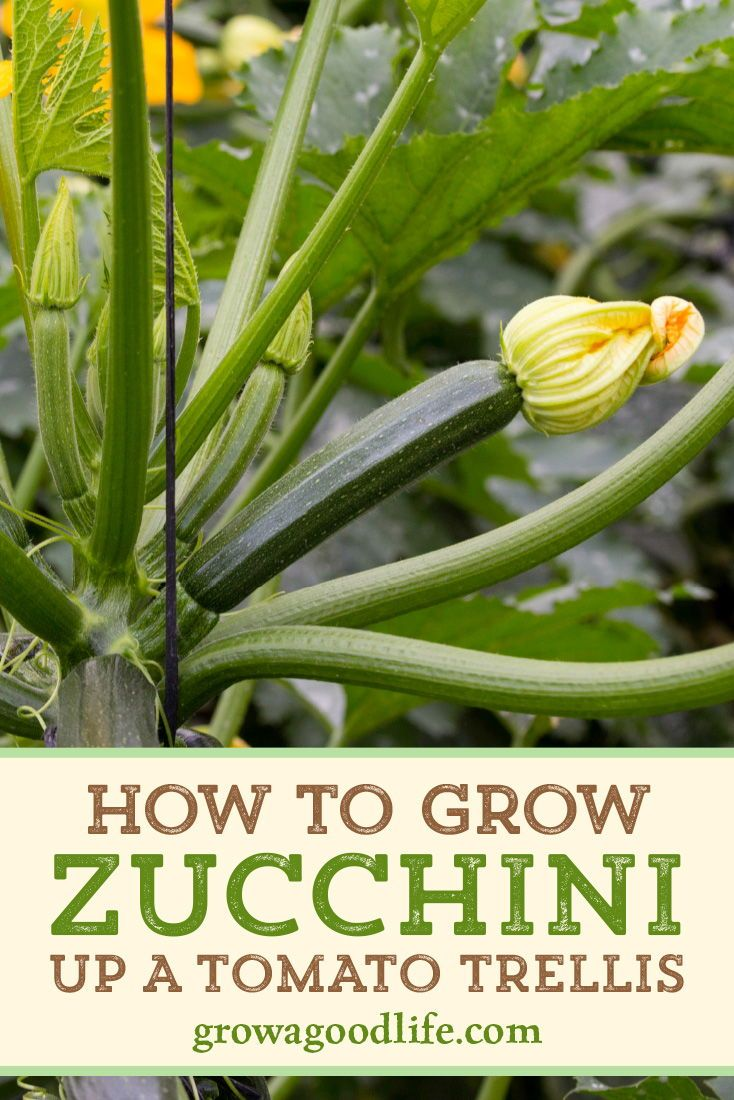 How to Grow Summer Squash Vertically is part of Spring vegetable garden, Vegetable garden raised beds, Zucchini plants, Veggie garden, Tomato cages, Container gardening vegetables - Grow summer squash vertically by trellising or in tomato cages  It saves space, encourages air circulation, and allows the squash to be more visible reducing the chance of overgrowth