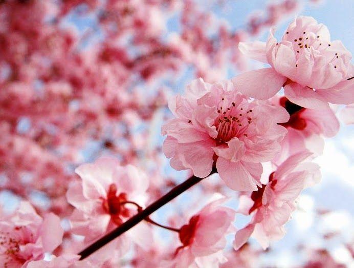 Http 2 Bp Blogspot Com Whgnhz1lpji U3a5737qthi Aaaaaaaaaxm Nebvzno8wqu S1600 Gambar Wallpaper Cherry Blossom Wallpaper Cherry Blossom Painting Flower Images
