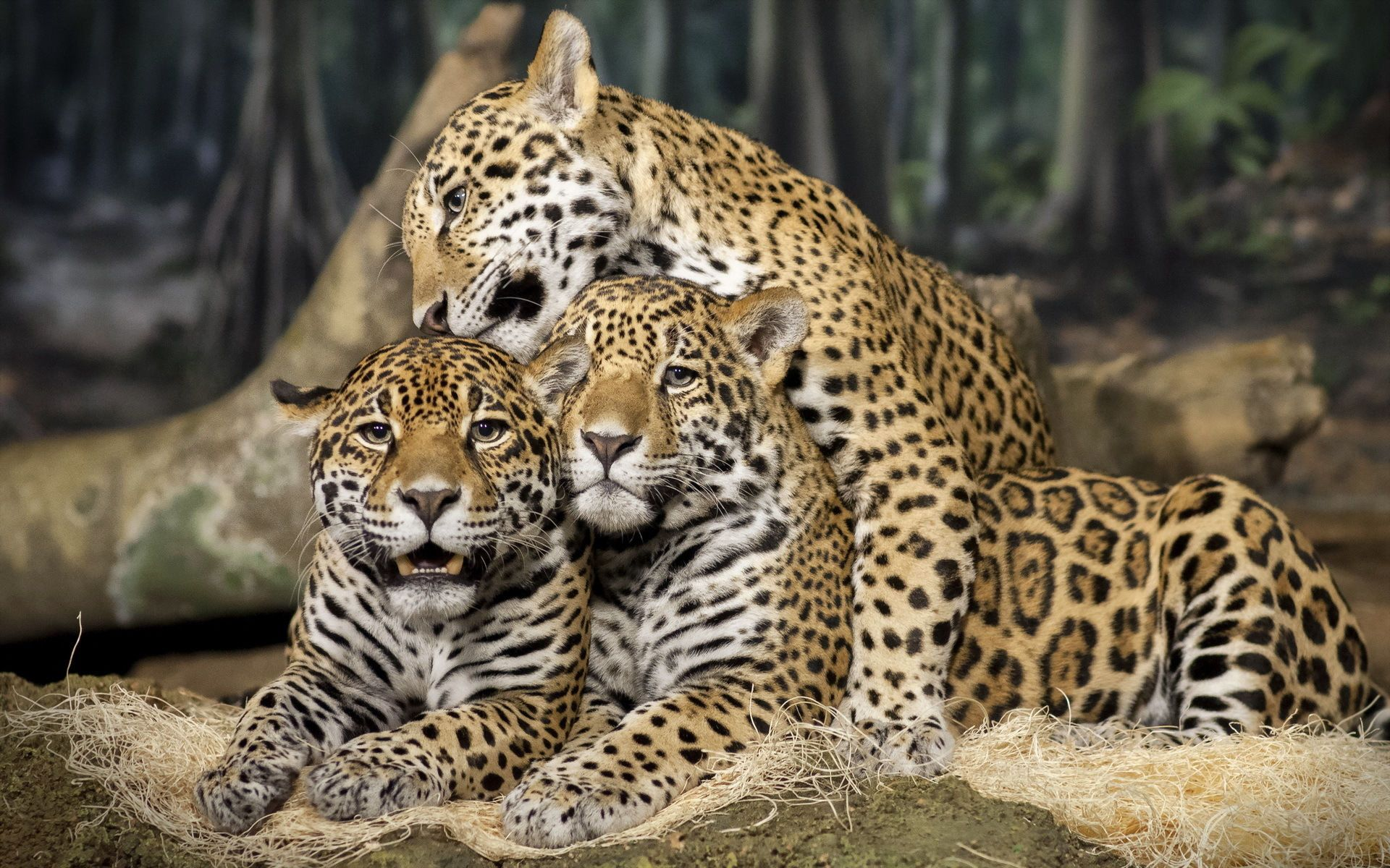 Tropical Rainforest ThingLink Jaguar animal