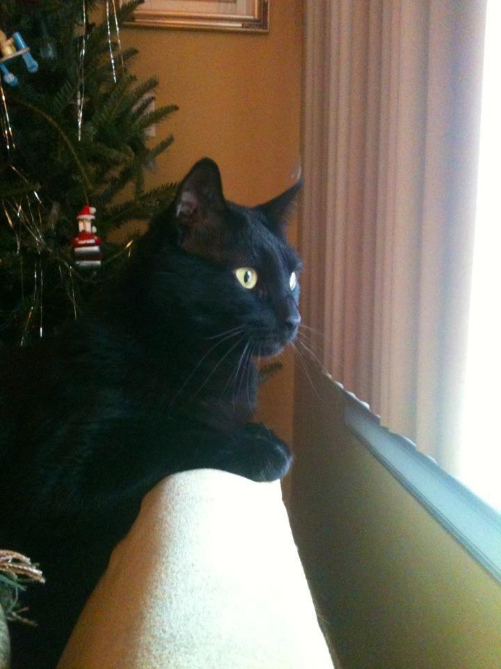 Black Cat Window Gazing