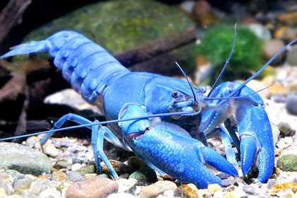 Blue Lobster Not Sure Percy Would Eat It He Would Probably Just Talk To It Or Keep It As A Pet Crayfish Shrimp And Lobster Breeds
