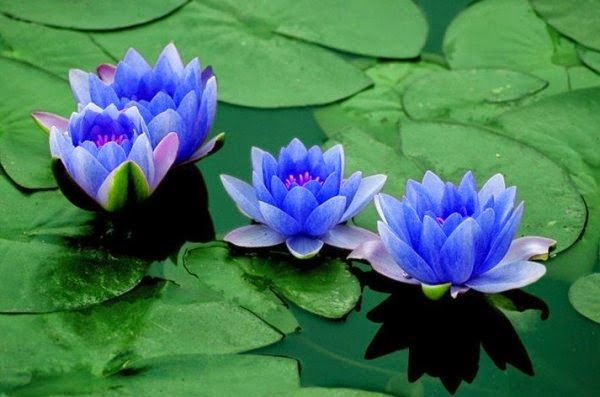 pour le plaisir des yeux taouage fleurs de lotus fleur de lotus signification des fleurs. Black Bedroom Furniture Sets. Home Design Ideas