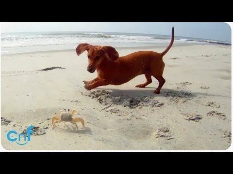 Wiener Dog Pool Party Featuring Crusoe Celebrity Dachshund