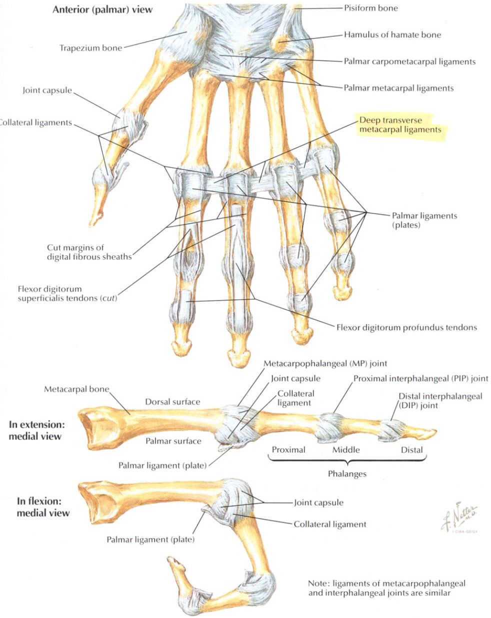Bones And Ligaments Of The Fingers Anatomy Pinterest Anatomy