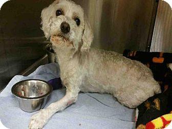 Fort Myers Fl Maltese Poodle Miniature Mix Meet Felix A Dog For Adoption Http Www Adoptapet Com Pet 18448998 Fort M Dog Adoption Pets Kitten Adoption