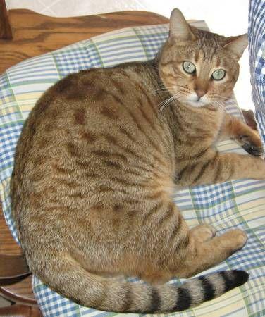 Missing cat (Cardinal Circle, Torrington) Brown Bengal 5 ...