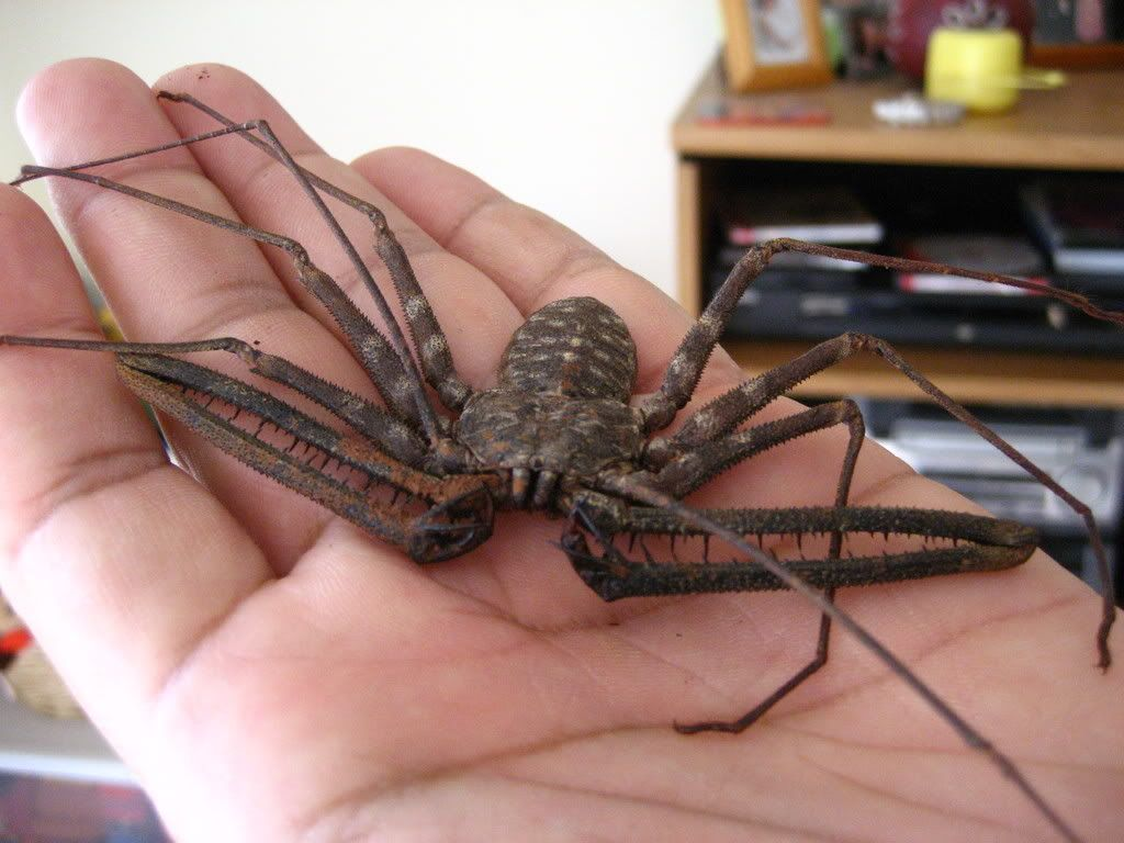 FS West African Cave Spider. | Game Creature Influences ...