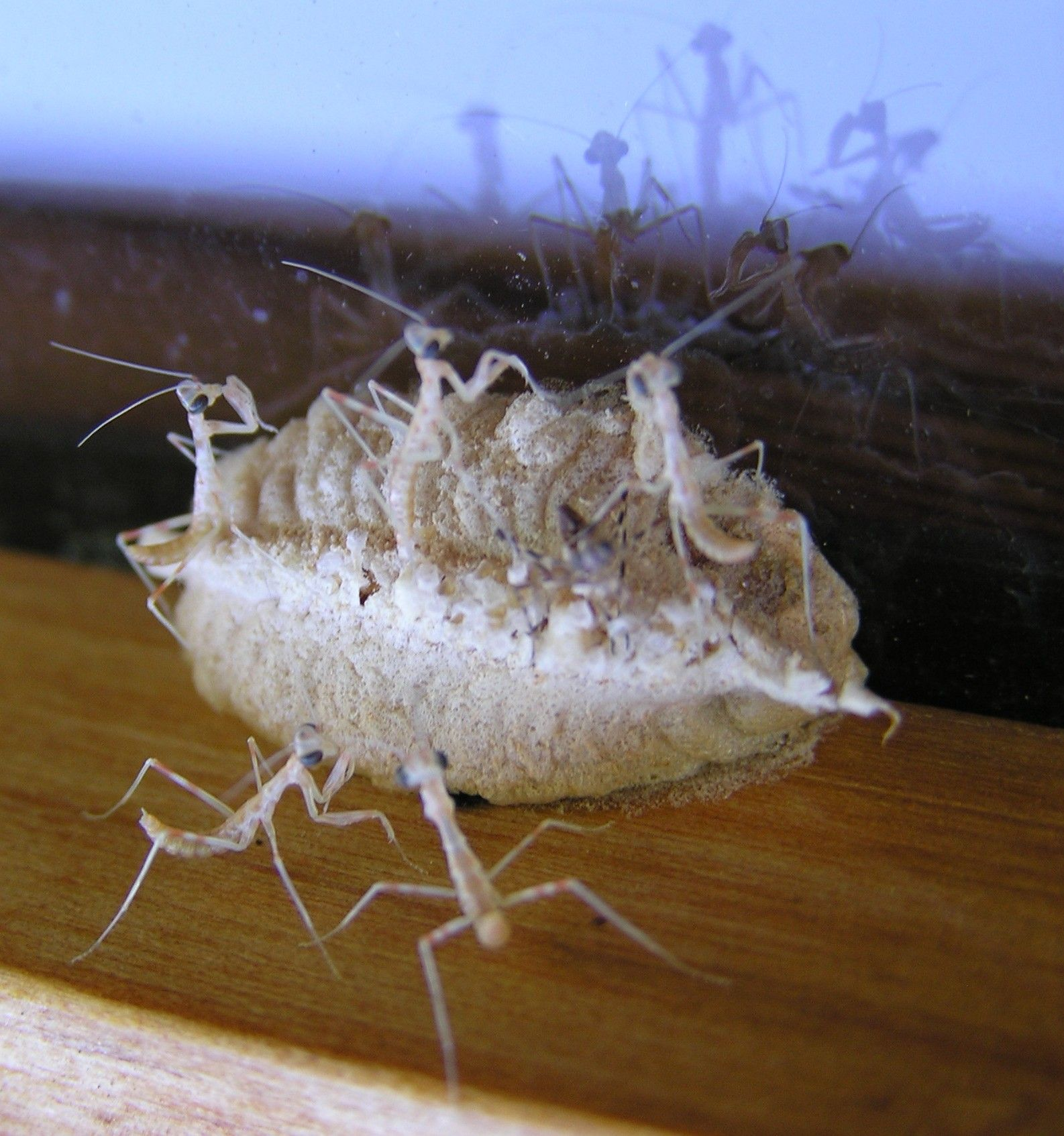 Different Praying Mantis Species for that matter. It