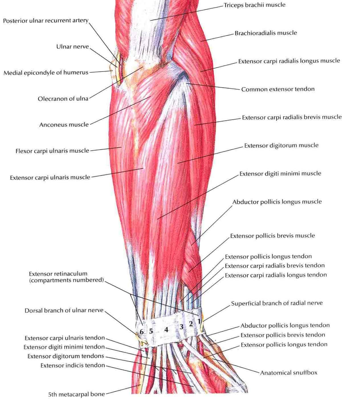 Diagram Of Forearm Muscles  Arms Hands Forearms