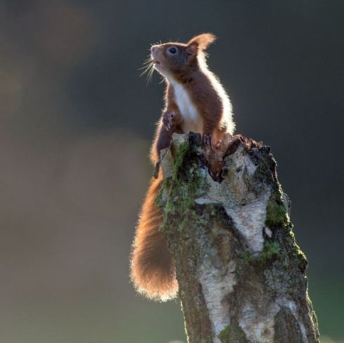 #Wildlife #photograph, #Redsquirrels in #Formby.