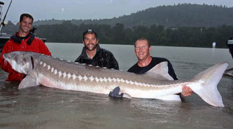 World S Largest Fish Ever Seen Myclipta Sturgeon Fish Monster Fishing Fish