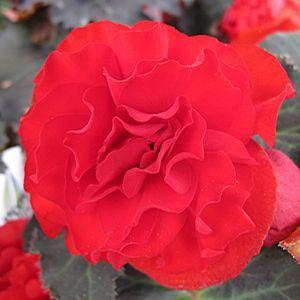 Begonia Nonstop Mocca Scarlet Buy Begonia Tuberous Annuals Online Begonia Flower Seeds Flowers