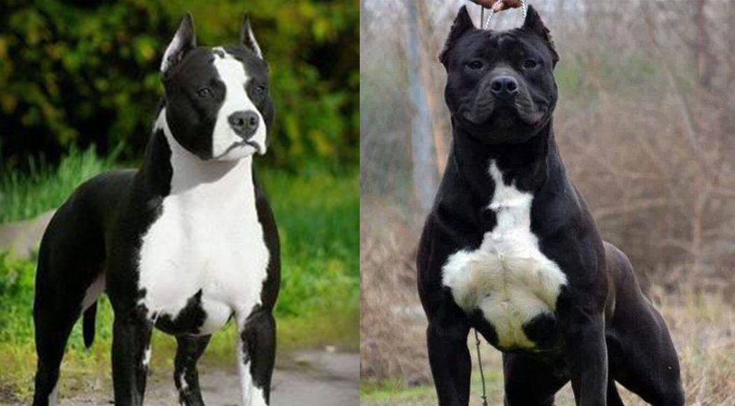 Cane Corso Puppies Top Dog Breeds Keeshond Dog Most Popular Dog Breeds