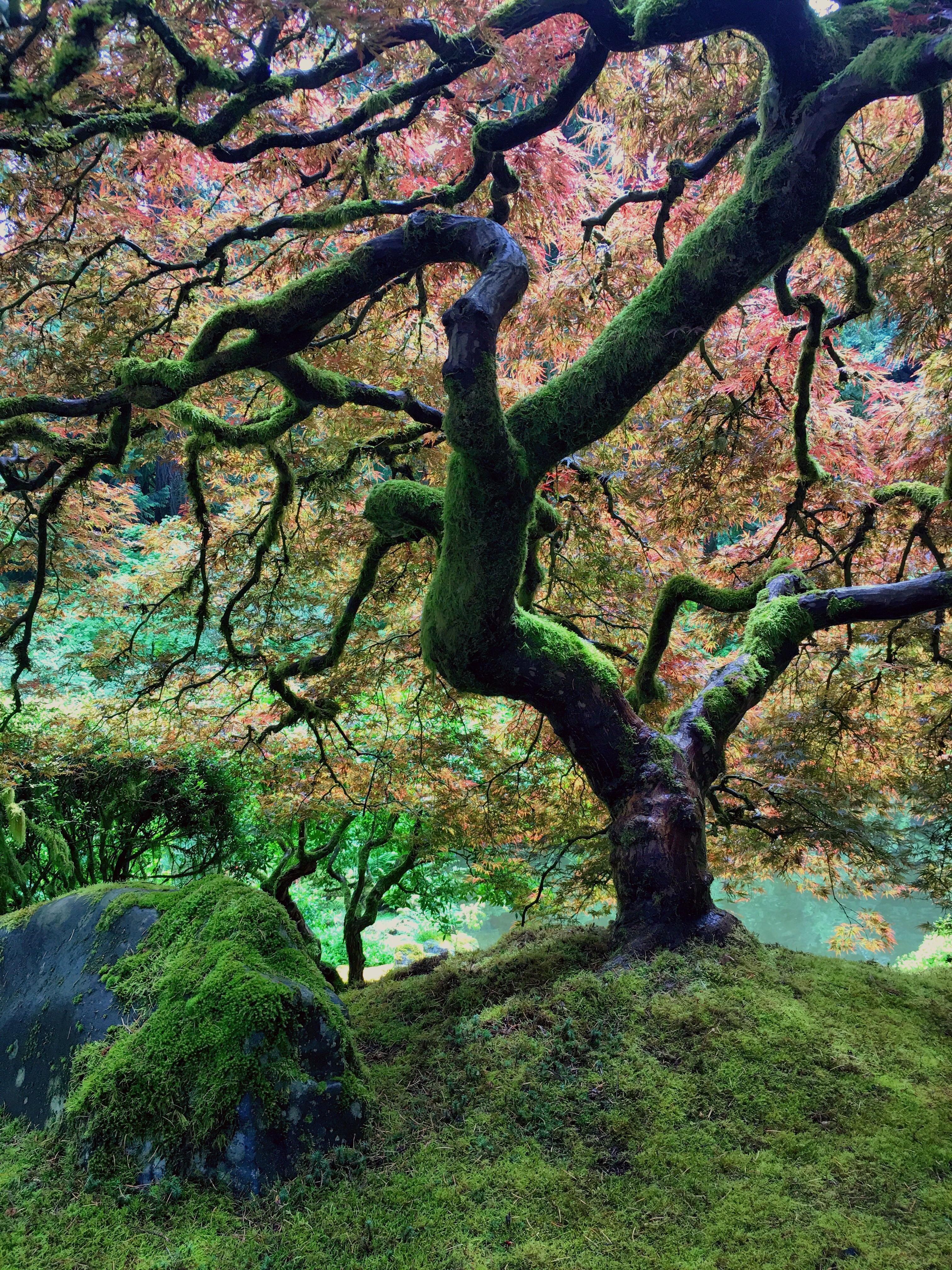 Japanese Maple at the Portland Japanese Garden. Photo