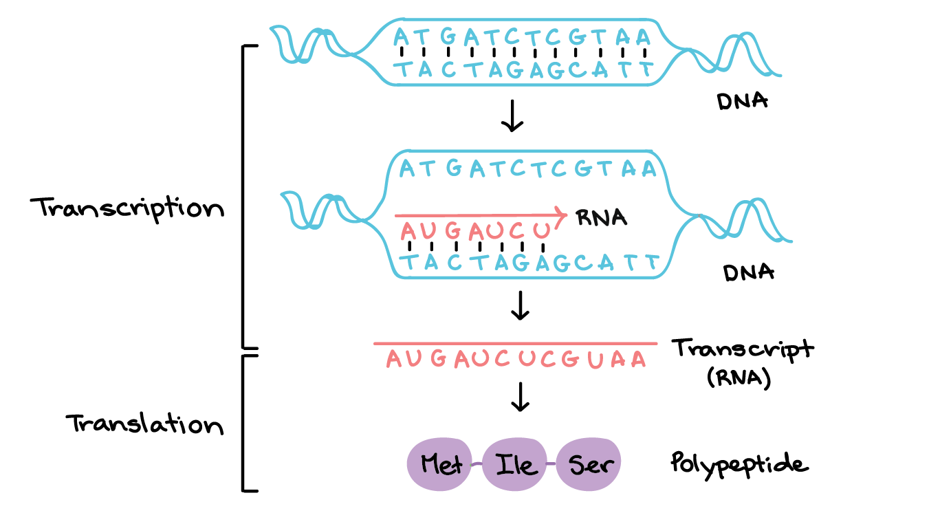 In Transcription A Region Of Dna Opens Up One Strand The Template Strand Transcription And Translation Dna Transcription Dna Transcription And Translation
