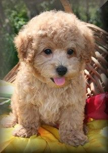 Maltipoo Puppies For Sale In Alabama With Images Maltipoo