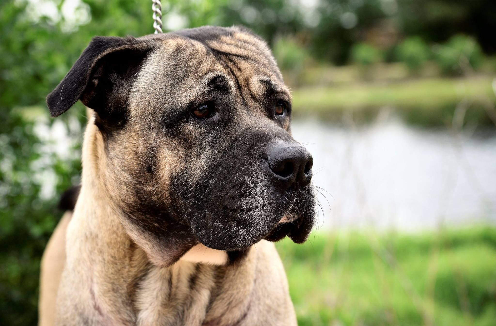 05/05/17HOUSTON AREA Cheeto is a Cane Corso Mastiff