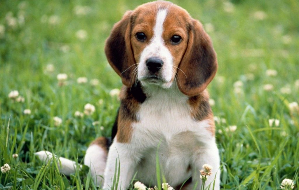 10 Most Popular Dog Breeds In India Beagle Dog Breed Cute