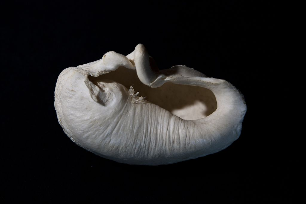 Inner Ear Bone of a Whale Said to be among the hardest bones in ...