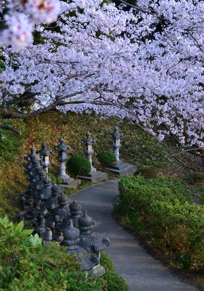 Cherry Blossoms Sakura Cover A Path Up To A Buddhist Shrine In Kojima Japan Japanese Garden Paths Scenery