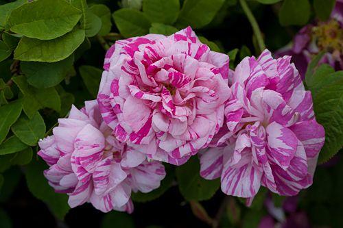Timo Saarimaa suosittelee ruusuja:  http://www.ruususeura.fi/a-suomi/linkit/saarimaa-suositt.html