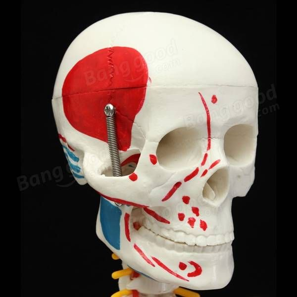 85cm Pvc Anatomical Human Skull Skeleton Anatomy Model With Stand