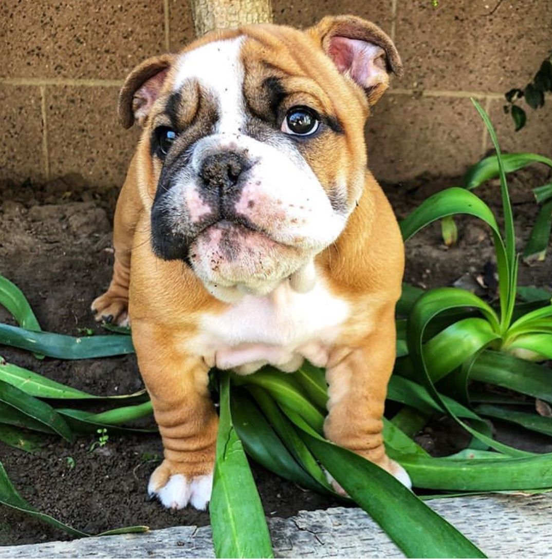 Pin By Travis Yell On Bulldogs Cute Dogs Cute Animals Fur Babies