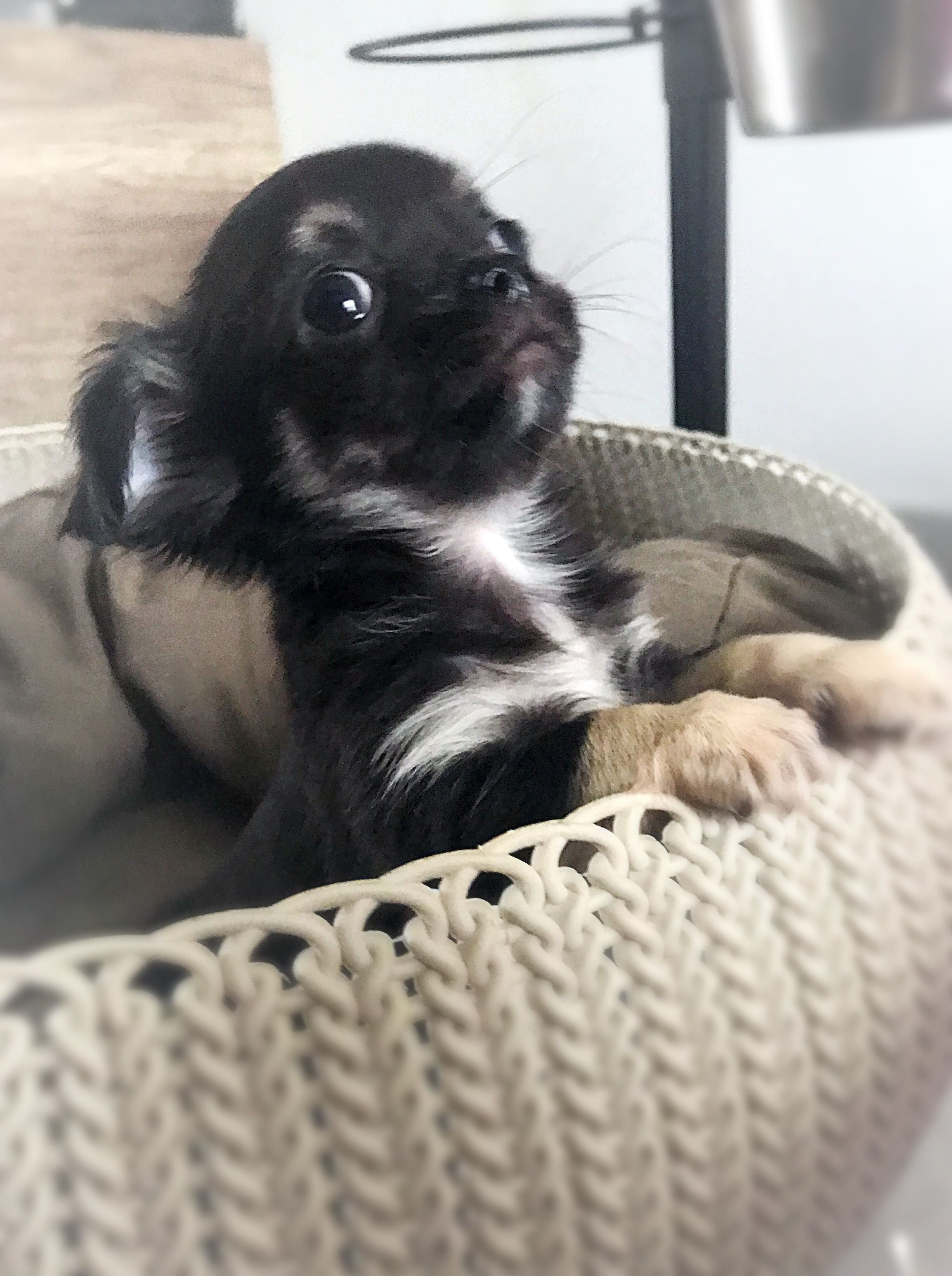 Oh Soooo Precious Chihuahua Cute Baby Animals Cute Animals