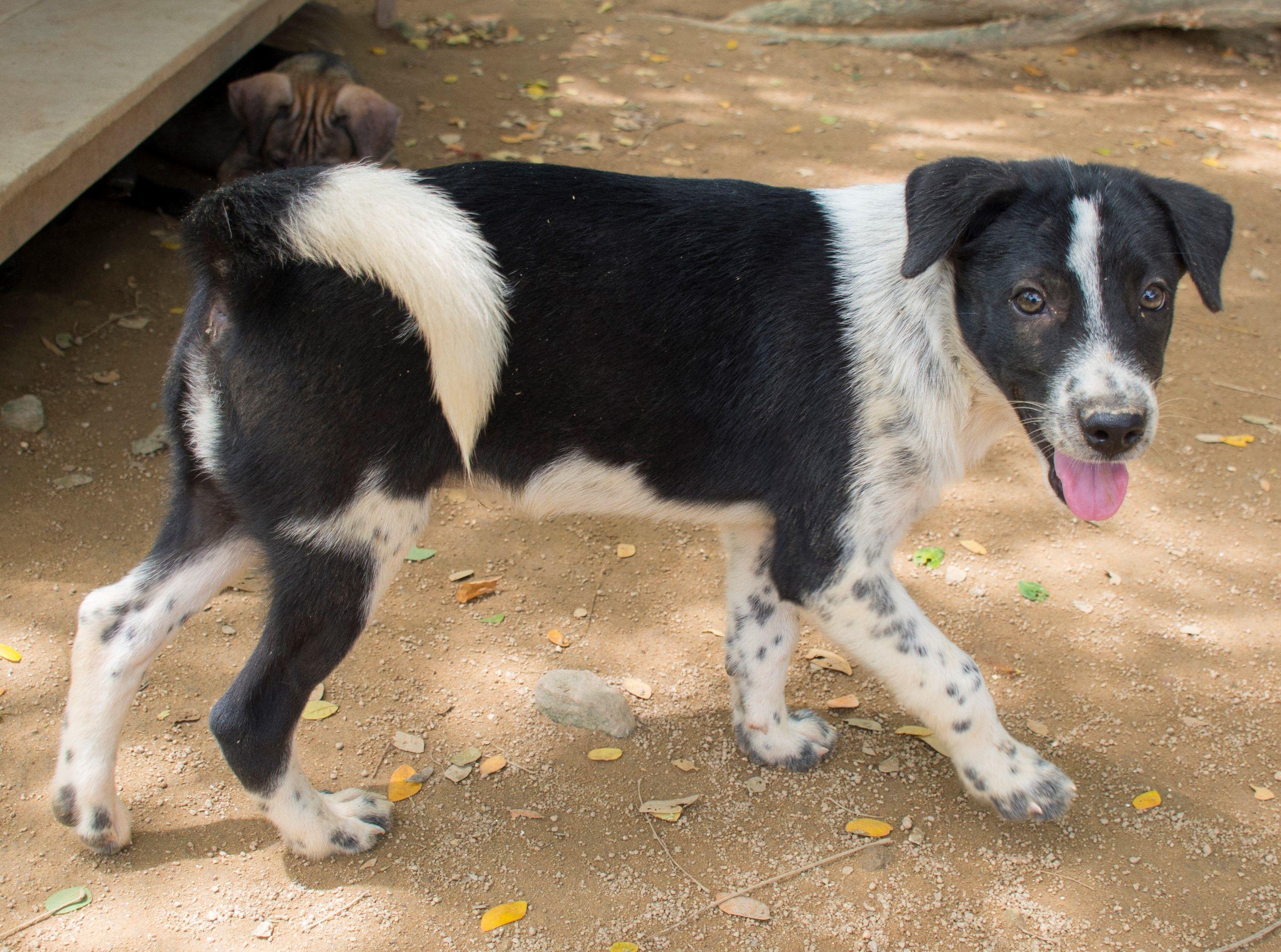 Borador Dog For Adoption In Seattle Wa Adn 752804 On Puppyfinder
