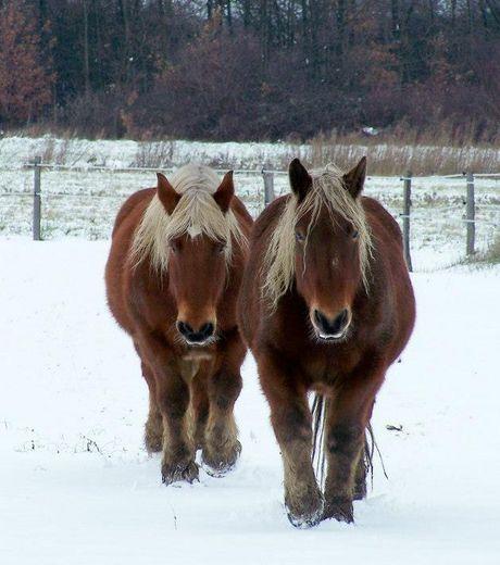 Ces deux superbes chevaux ne semblent pas trop déranger par leurs sabots qui s'enfoncent dans la neige (crédits : Guy Lestievent)