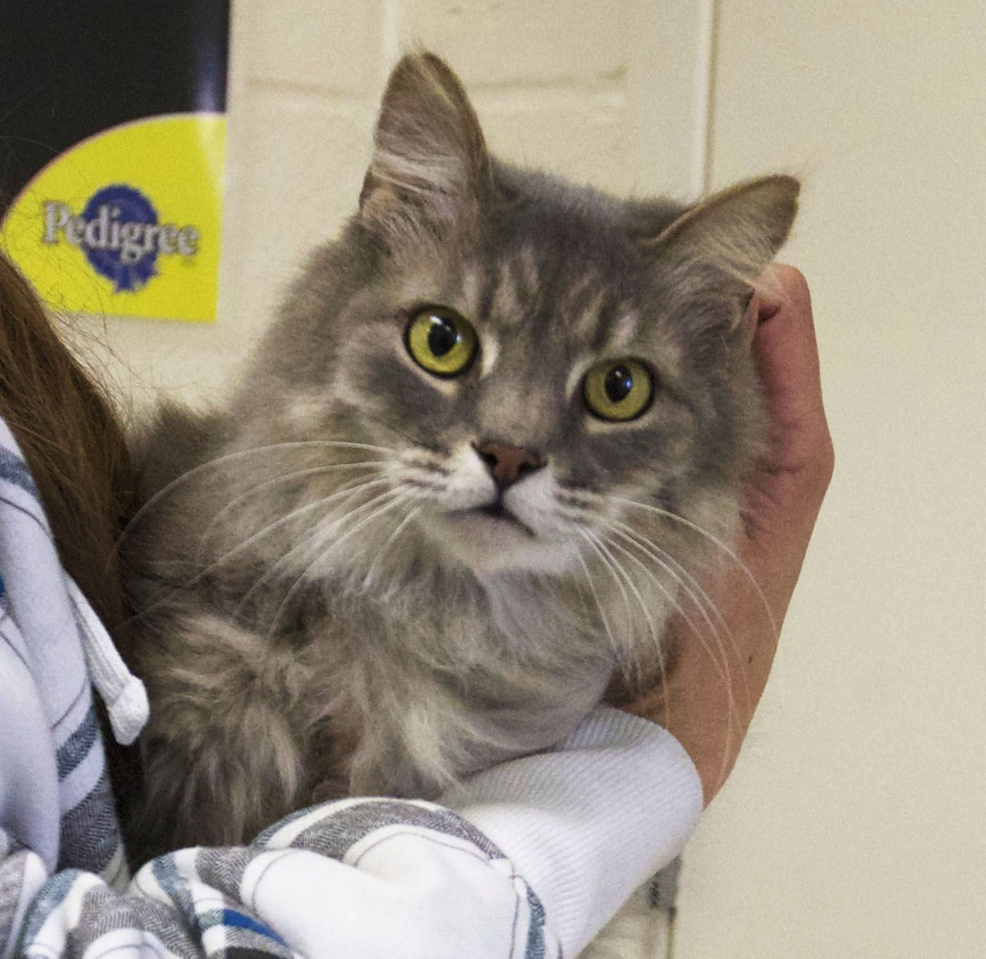 Vegas Is A Neutered 2 Year Old Silver Tabby Medium Hair Photo By
