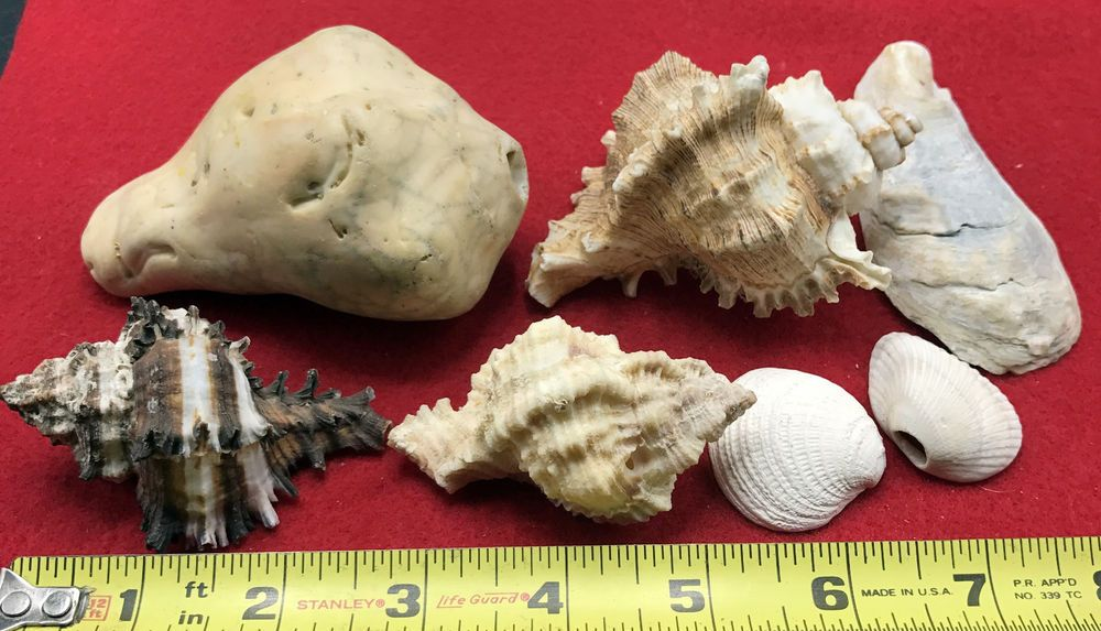 30++ Seashell shapes information