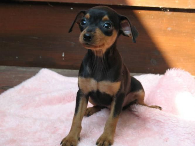 Miniature Pinscher Miniature Pinscher For Sale In Parry Sound