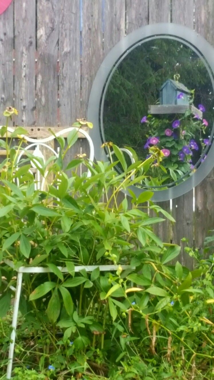 I love using old mirrors on the back fence to help hide the view of my neighbors! This one reflects my morning glories growing up around an old bird house and the repurposed wire chair I use as a cage to hold up my peonies.