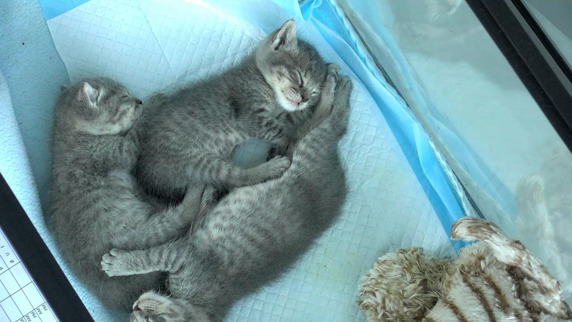 Live Kitten Cam Watch Cute Kittens Playing Explore Org Kitten Kittens Cute Cam Playing Cats Rescue Explore Baby Kitt In 2020 Kitten Rescue Kittens Cat Rescue