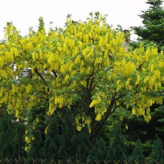 Gemeiner Goldregen Laburnum Anagyroides Gunstig Online Kaufen Pflanzen Bestellen Krauter Pflanzen Rotdorn