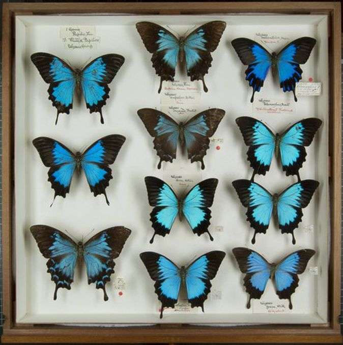 These Are From The Museumu0027s Extensive Butterfly Collection. Specimens  Marked With A Red Dot Were